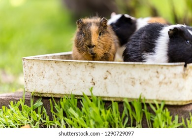 Some Guinea Pigs sitting in a food bowl
