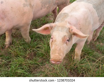 some happy pink colored pigs