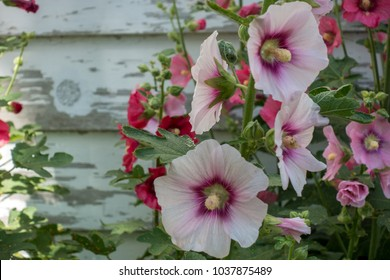 Some hollyhock flowers on a background of clapboard siding.