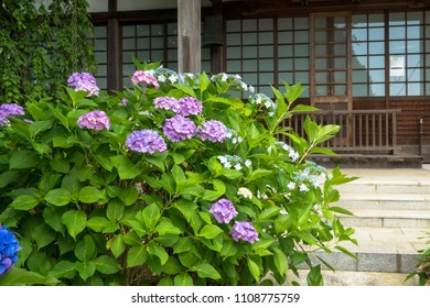 some hydrangeas flower in japan