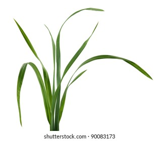 Some isolated fresh green blades of grass