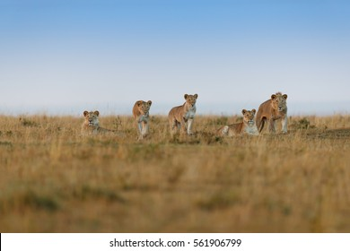 Some Lions of Double Cross Pride in Masai Mara, Kenya