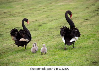 Some newly hatched  West Australian black swan cygnus atratus young cygnets and parents in Big Swamp Bunbury Western Australia on a fine afternoon in winter are a delight as they walk in the grass.