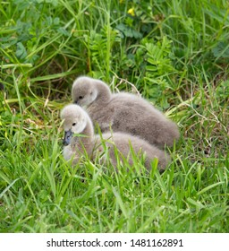 Some newly hatched West Australian black swan cygnus atratus young cygnets in Big Swamp Bunbury Western Australia on a fine afternoon in winter are a delight as they sit in the grass.