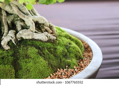 some part of bonsai roots and moss in a pot.