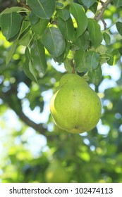 some pears hanging on a branch of a tree