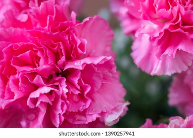 Some pink beautiful carnation flowers.