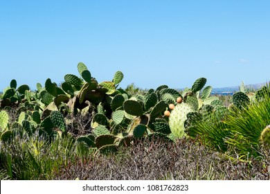 Some prickly pear plants in the dry landscape of Sicily in Italy, near Syracuse in a sunny hot day. The typical mediterranean vegetation distinguishes the place