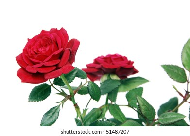 some red roses isolated on a white background