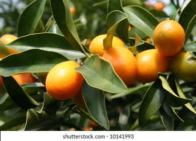 Some ripe Kumquats hanging on a tree.