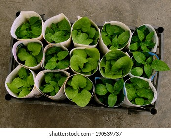 some seedlings rolled up with old newspaper pages for transportation in plastic box top view