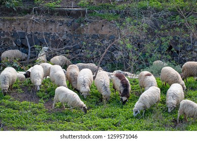 Some sheeps browsing.