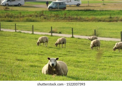 Some sheeps staring on the photographer laying in the grass and eating