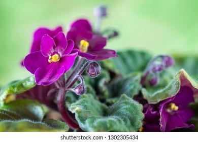 Some small purple violas flowers.