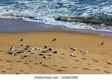 Some splendid white seagulls are standing  at the water's edge on Ocean Beach , Bunbury Western Australia on a late afternoon in late winter.