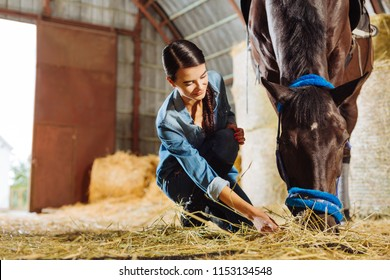 Some straw. Dark-haired pleasant looking horsewoman giving some straw dark beautiful horse