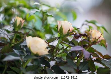 Some tea roses.