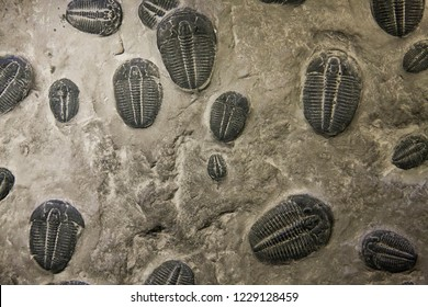 Some trilobites fossilized in rock