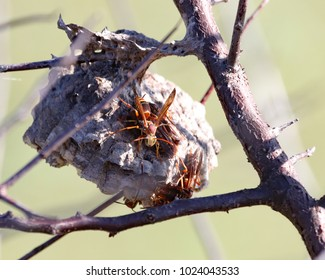Some types of paper wasps are also sometimes called umbrella wasps, due to the distinctive umbrella shape of their nests.