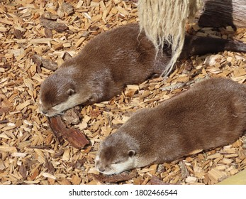 Some very sleepy Otters having a nap in the sun