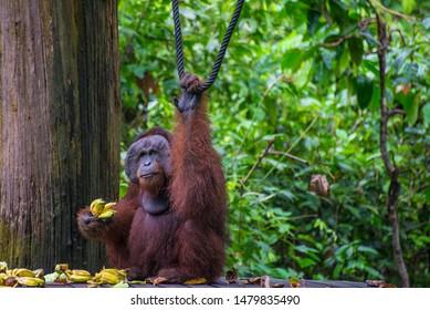 some view of Orang Utan and its surrounding at Sepilok Orangutan Rehabilitation Centre (Sandakan, Sabah, Malaysia). Open for public.
