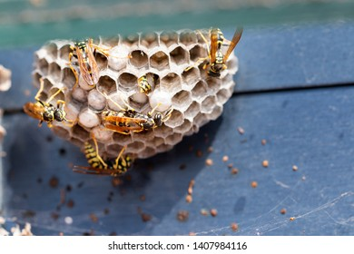 Some wasps at their nest.