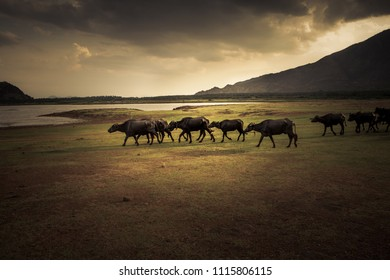 some water buffaloes are walking at sunset along a lakeside in the south of india
