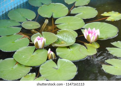 Some water lilies in the water of a pond