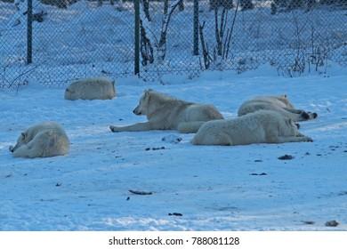 some white wolves