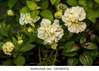 Some white and yellow flowers on a shrub