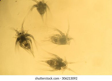 """Some worms from arctic sea under microscope. """"Daphnia""""."""