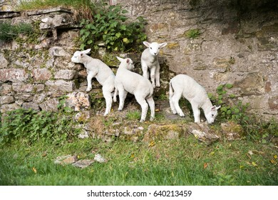Some young lambs climb up some rocks and grass bank in their field - Shutterstock ID 640213459