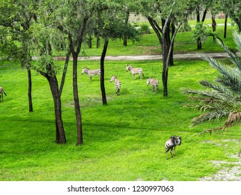 Some Zebra and Wildebeest with grass and trees