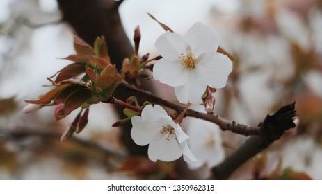 Somei Yoshino (Sakura)