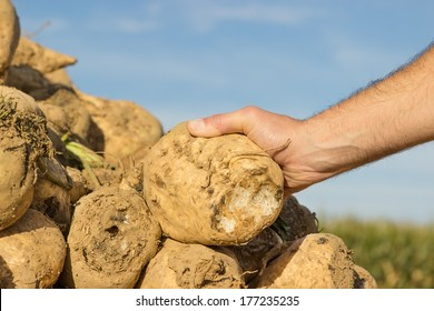 Someone holding a sugar beet in his hand