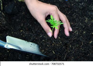 someone is seeding marigold  tree in soil