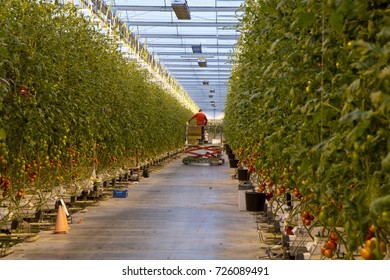 SOMEREN, THE NETHERLANDS - FEBRUARY 11, 2014. Workers in a modern tomato greenhouse, with led lighting and no-soil technology.