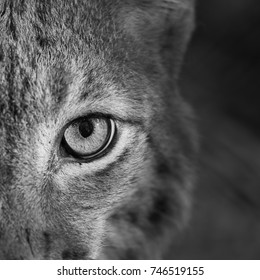 Something wild - look of the Lynx