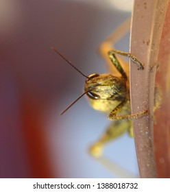 Sometimes the locusts are solitary insects and with a lifestyle very similar to that of the locusts