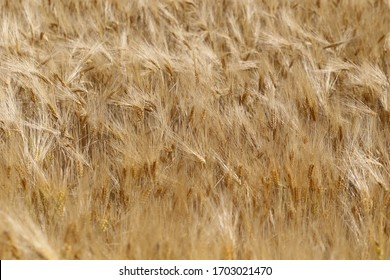 sommer wheat field, agriculture backgrownd