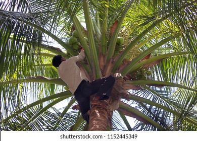 Somnath, Gujarat, India, August 29, 2009: Man climbs on a Palm tree to reap crop of a coconut
