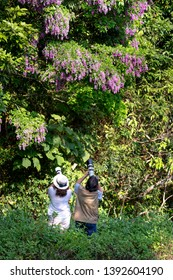 Son Tra Peninsula, Da Nang City, Vietnam - April 27, 2019: the female photographer is taking pictures of  blooming Millettia brandisiana flowers on Son Tra Peninsula, Da Nang City, Vietnam