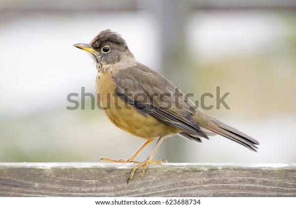 Song Bird, Falkland Islands