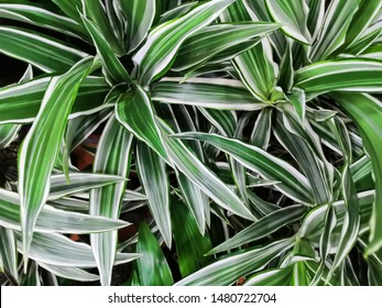 Song of india leaves on green background. This beautiful tropical plant is popular for flower arrangement. Top view Dracaena reflexa tree ,Dracaena song of India. Variegated green yellow with white