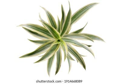 Song of India plant (Dracaena reflexa) popular house plant from Dracaena genus. Isolated image on white background