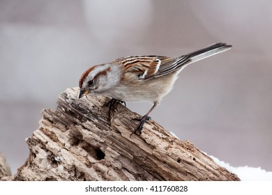 Song Sparrow bird perched on a natural rotted tree trunk