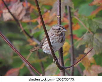 A song sparrow in the fall leaves