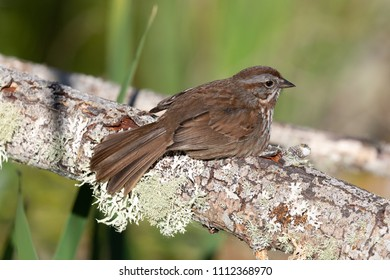 A Song Sparrow (Melospiza melodia) perched on a lichen covered branch. Song Sparrows have a beautiful song which belies their plain appearance.