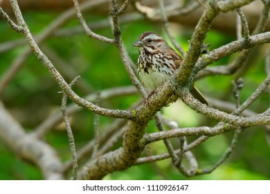 Song Sparrow perched on a branch with the legs of a meal dangling out of its beak. Colonel Samuel Smith Park, Toronto, Ontario, Canada.