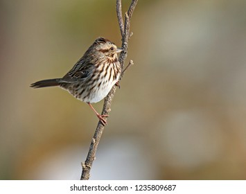 Song Sparrow Perched on Branch